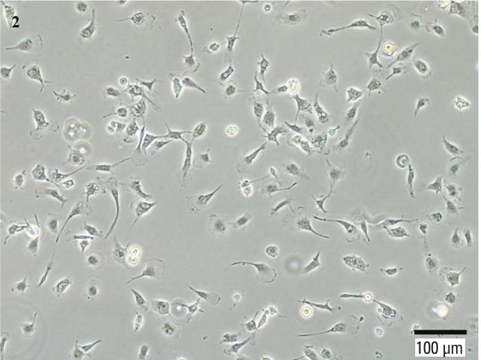 Human Microglia